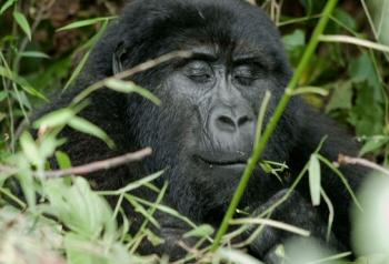 Gorila bwindi