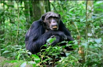 chimpp