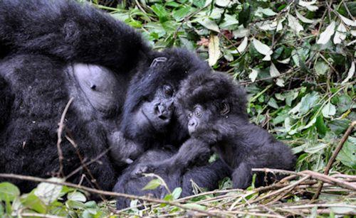Gorilla-track-Bwindi