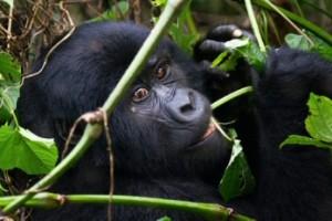 Gorilla-weep