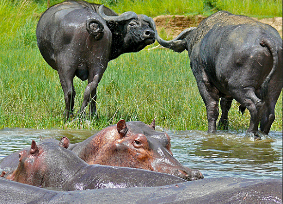 Hippos and Buffaloes Murchison