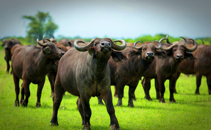 Herd of Buffaloes in Queen