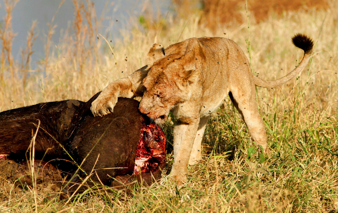 Lion feeding on a carcass