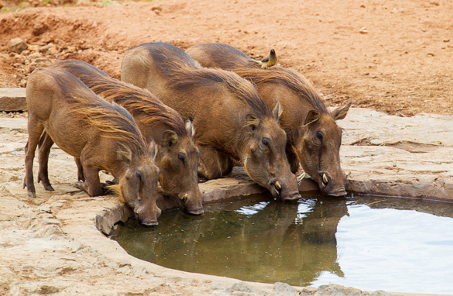 Warthogs at watering hole Kidepo