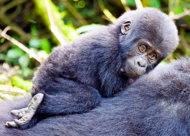 Mother and juvenile gorilla