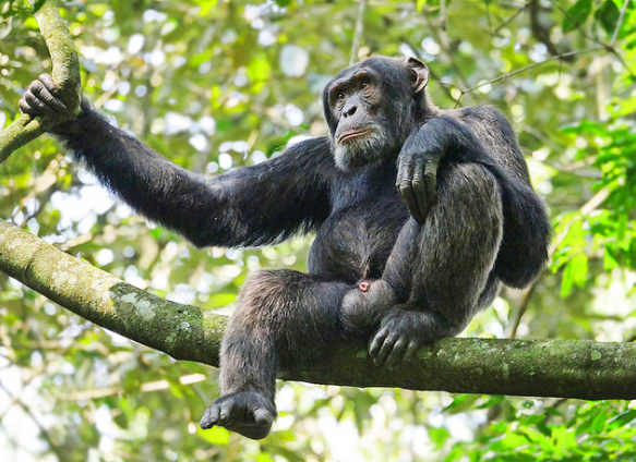 Chimps Kyambura.