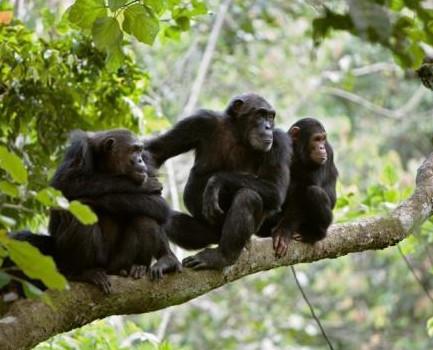 chimp23