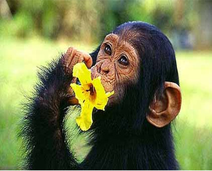 chimp24