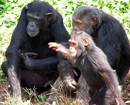 chimp25