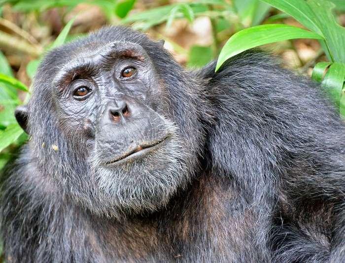 9 Days Primate Safari Uganda, Gorilla Watching and Chimpanzee Tours