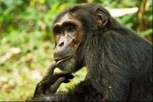 chimps kibal