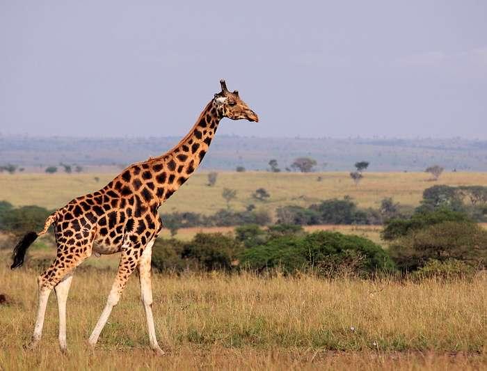 12 Days Safari In Uganda
