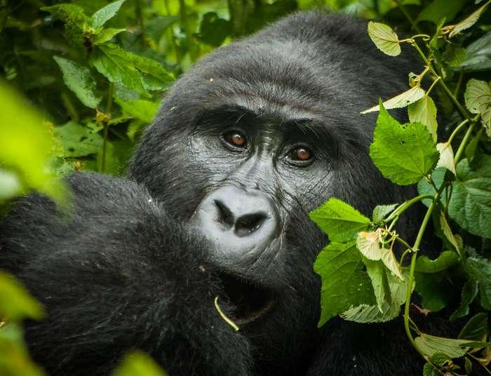 7 Days Safari, Gorillas and Wildlife Trips Uganda