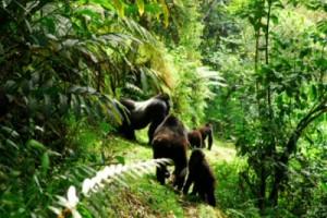 gorillas trekking twice